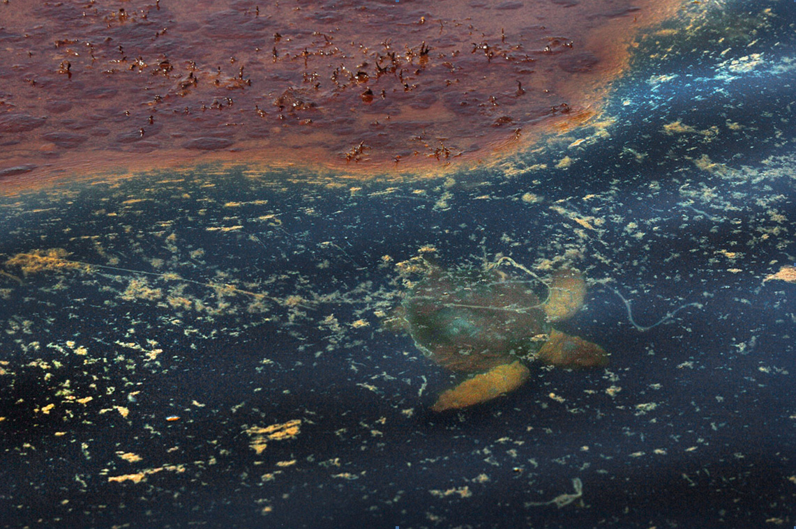 STINKING SARGASSUM: It's Keeping Turtles From Getting To ...