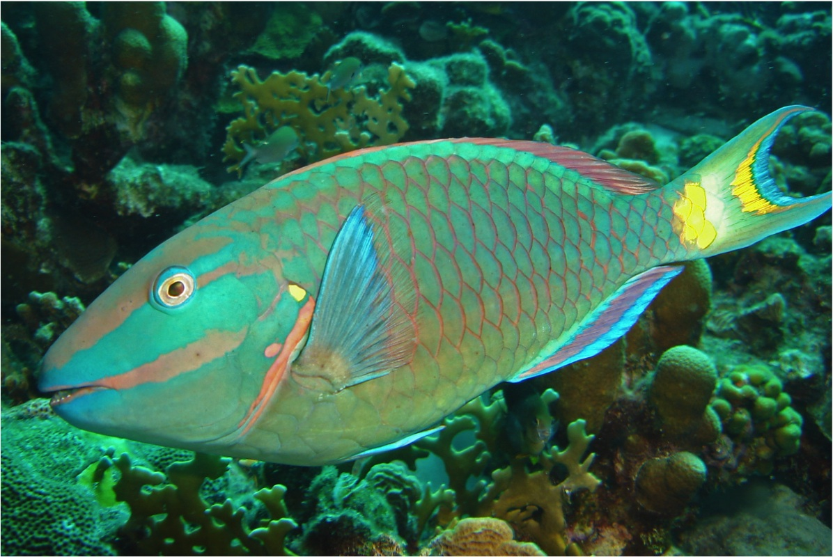 39 parrotfish grazing study 39 talk sponsored by friends of for Pictures of parrot fish